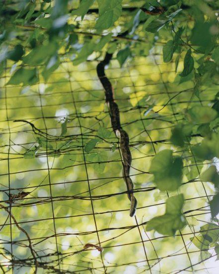 Snake on Fence