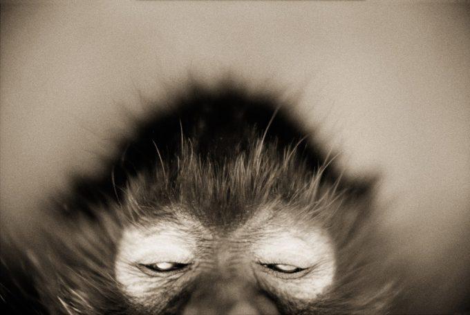 White-cheeked Spider Monkey