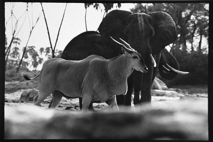 Peter Beard, Eland Bull and Elephants, Tiva Lugga, Tsavo North, Kenya