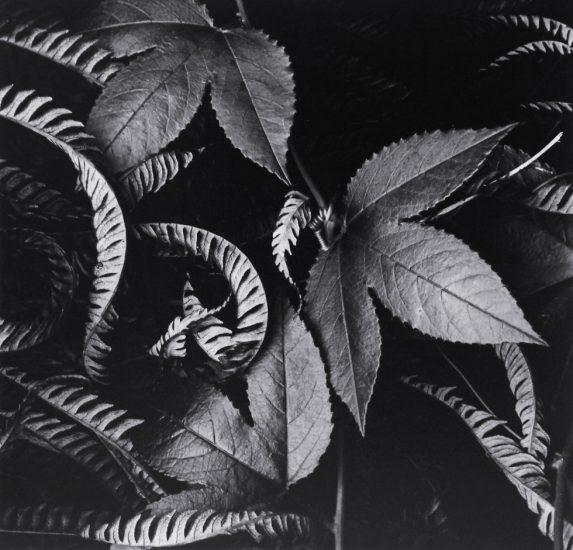 Brett Weston, Ivy & Leaves (Hawaii)