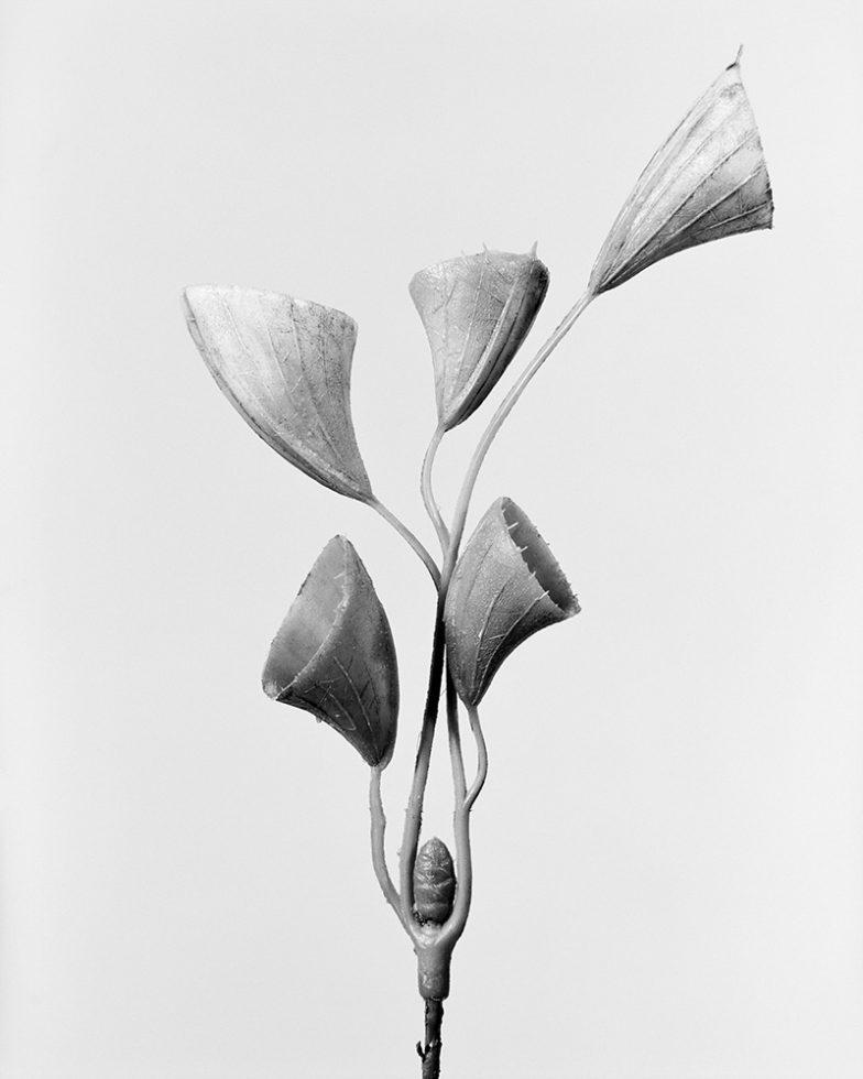 Cornucopiae Cucllatum