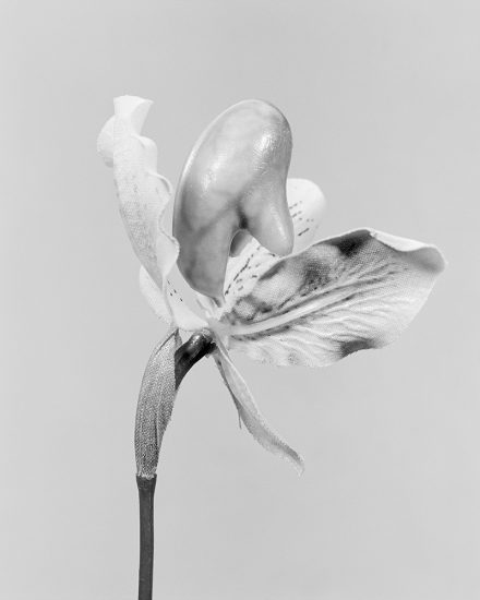 Robert Voit, Cypripedium Calceolus