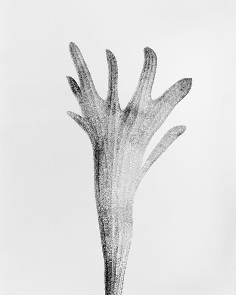 Platycerium Bifurcatum