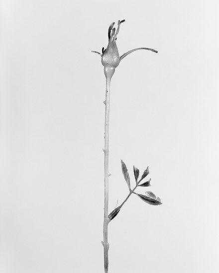 Robert Voit, Rosa Indica Fragrans