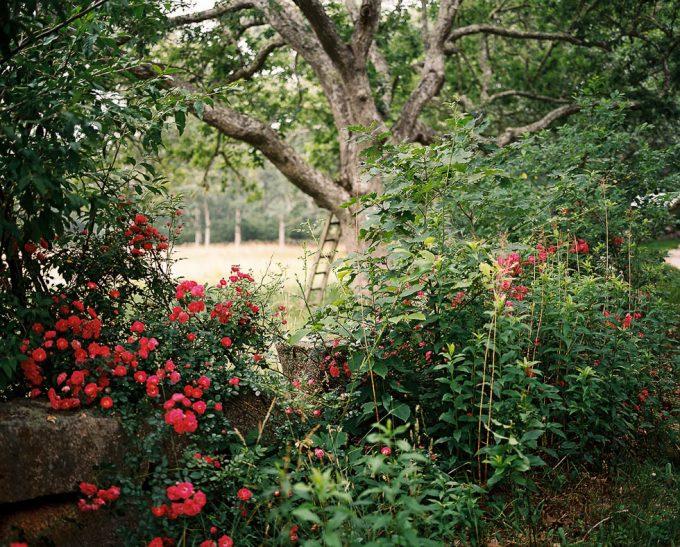 Wild Roses, Palmer Davis