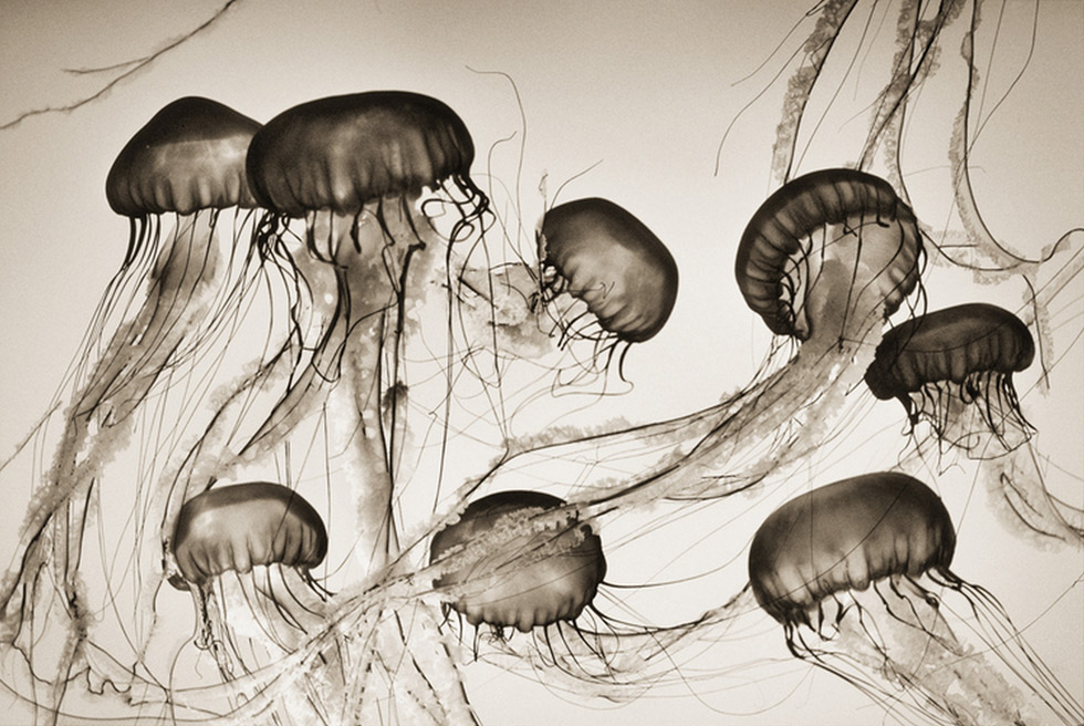 Henry Horenstein, Brown Sea Nettles