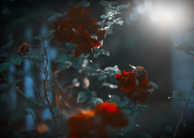 Rachel Hulin, Red Roses