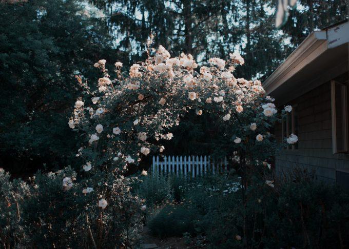Rachel Hulin, White Roses