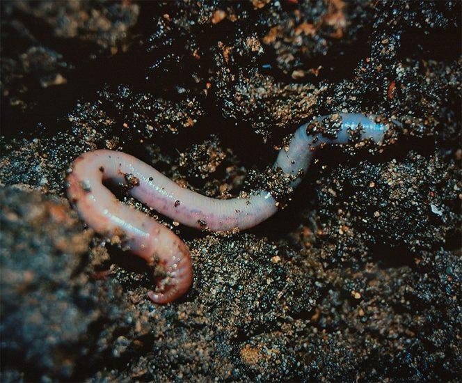 Sarah Meadows, Annelida