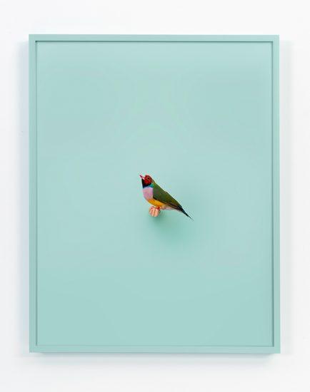 Daniel Handal, Lady Gouldian Finch Mint