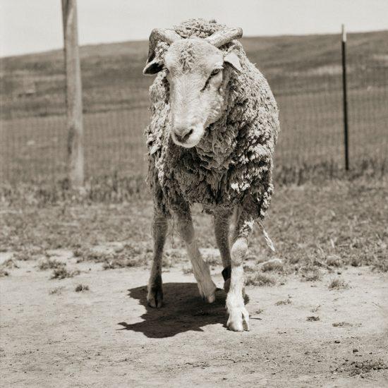 Isa Leshko, Forest, Santa Cruz Sheep, Age