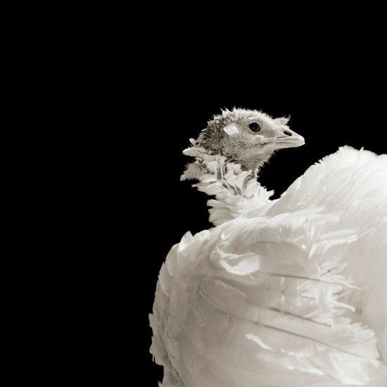 Isa Leshko, Ash, Domestic White Turkey, Age 8