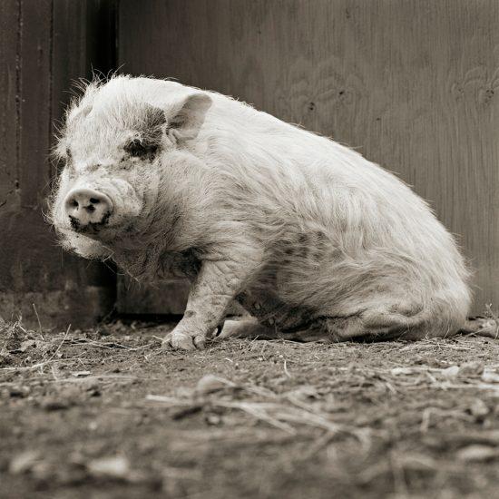 Isa Leshko, Violet, Potbellied Pig, Age 12, II