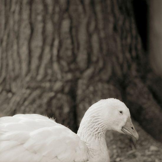 Isa Leshko, Embden Goose, Age 28, I