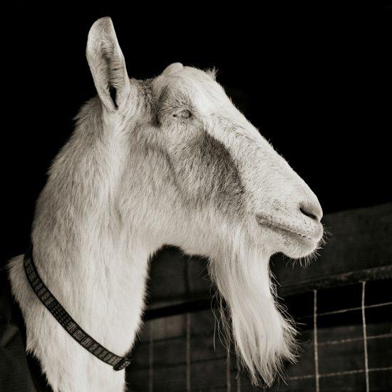 Isa Leshko, Abe, Alpine Goat, Age 21