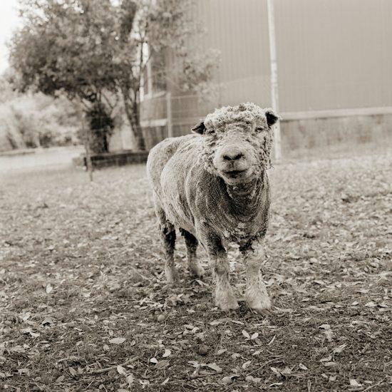 Isa Leshko, Phyllis, Southdown Sheep, Age 13